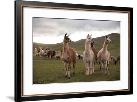 Llamas and Alpacas Grazing in the Mountains of Peru-Erika Skogg-Framed Art Print