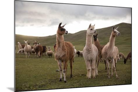 Llamas and Alpacas Grazing in the Mountains of Peru-Erika Skogg-Mounted Photographic Print
