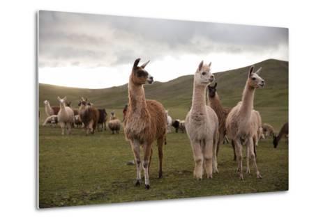 Llamas and Alpacas Grazing in the Mountains of Peru-Erika Skogg-Metal Print
