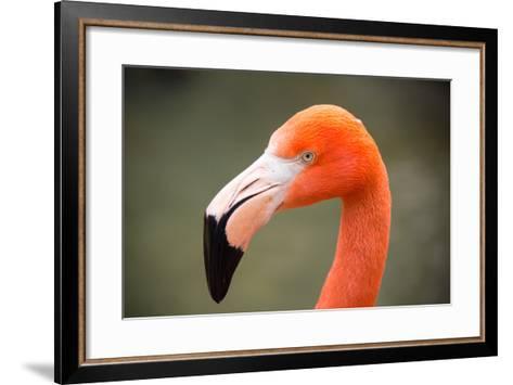 An American Flamingo, Phoenicopterus Ruber, at Sylvan Heights Bird Park-Joel Sartore-Framed Art Print
