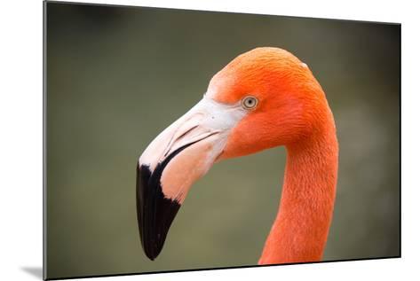 An American Flamingo, Phoenicopterus Ruber, at Sylvan Heights Bird Park-Joel Sartore-Mounted Photographic Print