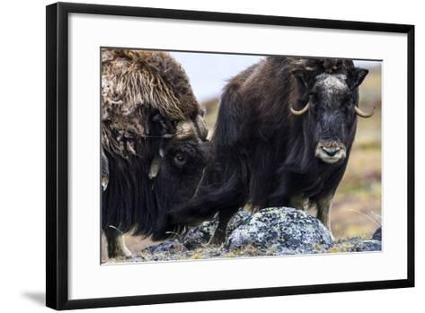 A Male Musk Ox Scenting a Female to See If She Is in Oestrus for Mating-Jason Edwards-Framed Art Print