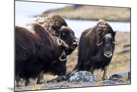 A Male Musk Ox Scenting a Female to See If She Is in Oestrus for Mating-Jason Edwards-Mounted Photographic Print
