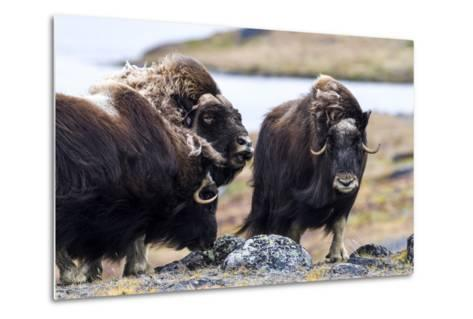 A Male Musk Ox Scenting a Female to See If She Is in Oestrus for Mating-Jason Edwards-Metal Print