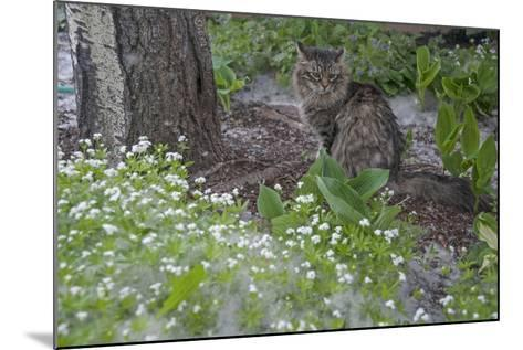 Seed-Bearing 'Cotton' from a Quaking Aspen Tree Falls on a Cat and a Garden of Sweet Woodruff-Gordon Wiltsie-Mounted Photographic Print