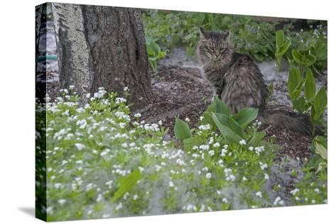 Seed-Bearing 'Cotton' from a Quaking Aspen Tree Falls on a Cat and a Garden of Sweet Woodruff-Gordon Wiltsie-Stretched Canvas Print