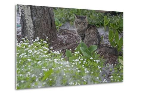Seed-Bearing 'Cotton' from a Quaking Aspen Tree Falls on a Cat and a Garden of Sweet Woodruff-Gordon Wiltsie-Metal Print