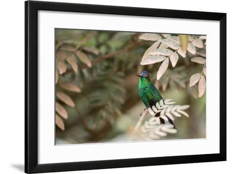 A Violet-Capped Wood Nymph, Thalurania Glaucopis, Covered in Pollen after Feeding-Alex Saberi-Framed Art Print