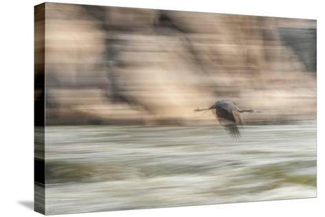 A Great Blue Heron in Flight-Irene Owsley-Stretched Canvas Print