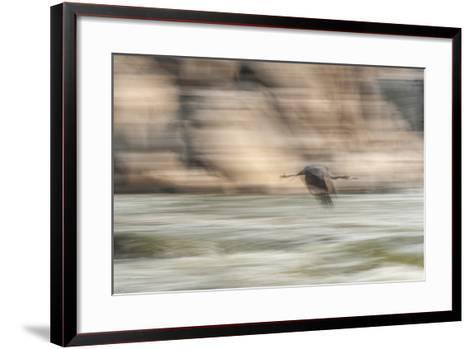 A Great Blue Heron in Flight-Irene Owsley-Framed Art Print
