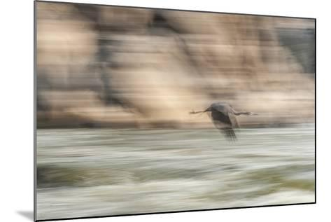 A Great Blue Heron in Flight-Irene Owsley-Mounted Photographic Print