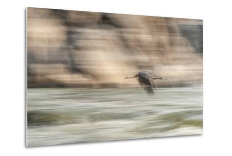 A Great Blue Heron in Flight-Irene Owsley-Metal Print