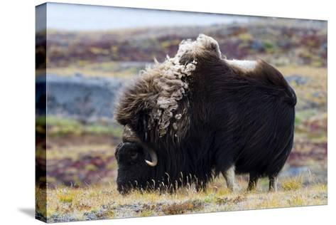 A Musk Ox with a Huge Shaggy Coat Grazing on Tundra Grasses-Jason Edwards-Stretched Canvas Print