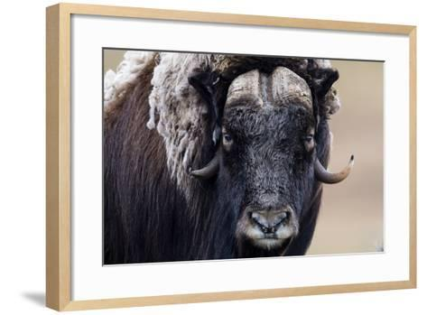 A Musk Ox Staring at the Camera with Sharp Pointed Horns-Jason Edwards-Framed Art Print