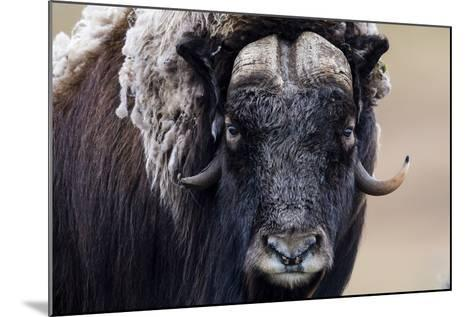A Musk Ox Staring at the Camera with Sharp Pointed Horns-Jason Edwards-Mounted Photographic Print