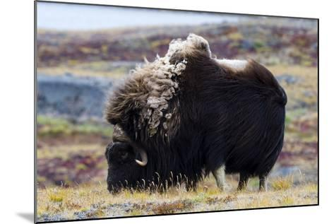 A Musk Ox with a Huge Shaggy Coat Grazing on Tundra Grasses-Jason Edwards-Mounted Photographic Print