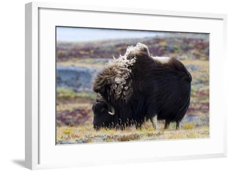 A Musk Ox with a Huge Shaggy Coat Grazing on Tundra Grasses-Jason Edwards-Framed Art Print