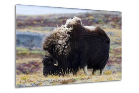 A Musk Ox with a Huge Shaggy Coat Grazing on Tundra Grasses-Jason Edwards-Metal Print