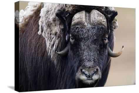 A Musk Ox Staring at the Camera with Sharp Pointed Horns-Jason Edwards-Stretched Canvas Print