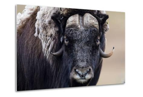 A Musk Ox Staring at the Camera with Sharp Pointed Horns-Jason Edwards-Metal Print