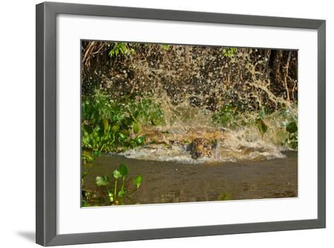 A Jaguar Leaps into Cuiaba River in the Brazilian Pantanal-Steve Winter-Framed Art Print