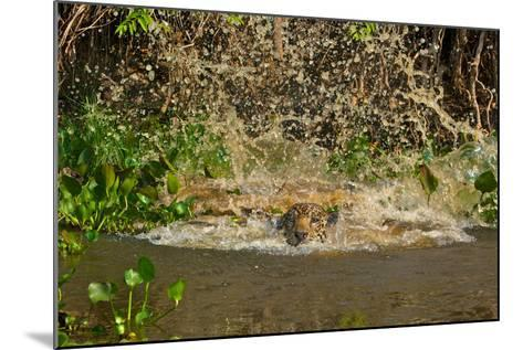 A Jaguar Leaps into Cuiaba River in the Brazilian Pantanal-Steve Winter-Mounted Photographic Print