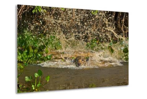 A Jaguar Leaps into Cuiaba River in the Brazilian Pantanal-Steve Winter-Metal Print