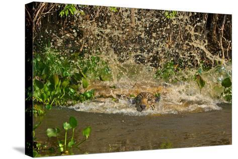 A Jaguar Leaps into Cuiaba River in the Brazilian Pantanal-Steve Winter-Stretched Canvas Print