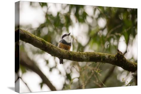 A Buff Bellied Puffbird, Notharchus Swainsoni, on a Branch in Ubatuba, Brazil-Alex Saberi-Stretched Canvas Print
