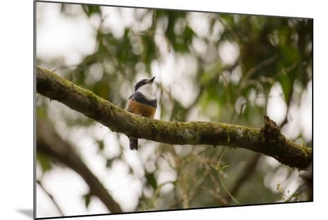A Buff Bellied Puffbird, Notharchus Swainsoni, on a Branch in Ubatuba, Brazil-Alex Saberi-Mounted Photographic Print