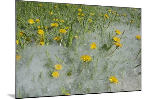 Seed-Laden 'Cotton' from Quaking Aspens Buries Dandelions and Grass, Montana-Gordon Wiltsie-Mounted Photographic Print