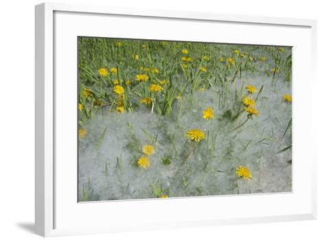 Seed-Laden 'Cotton' from Quaking Aspens Buries Dandelions and Grass, Montana-Gordon Wiltsie-Framed Art Print