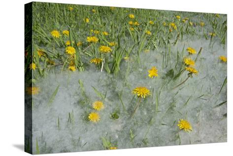 Seed-Laden 'Cotton' from Quaking Aspens Buries Dandelions and Grass, Montana-Gordon Wiltsie-Stretched Canvas Print