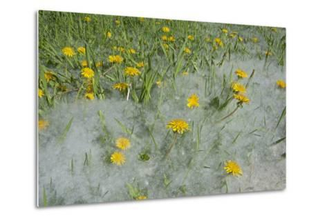 Seed-Laden 'Cotton' from Quaking Aspens Buries Dandelions and Grass, Montana-Gordon Wiltsie-Metal Print