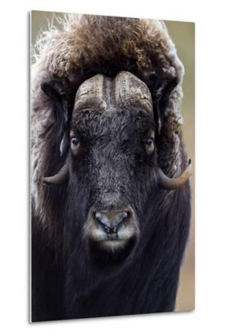 A Musk Ox with a Huge Shaggy Coat Staring at the Camera with Sharp Pointed Horns-Jason Edwards-Metal Print