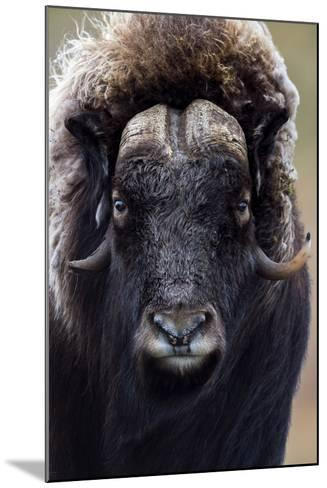 A Musk Ox with a Huge Shaggy Coat Staring at the Camera with Sharp Pointed Horns-Jason Edwards-Mounted Photographic Print