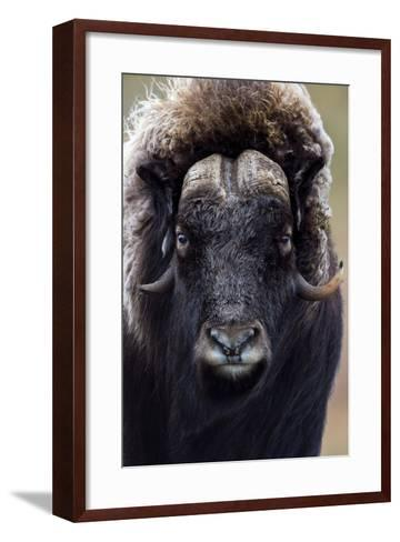 A Musk Ox with a Huge Shaggy Coat Staring at the Camera with Sharp Pointed Horns-Jason Edwards-Framed Art Print