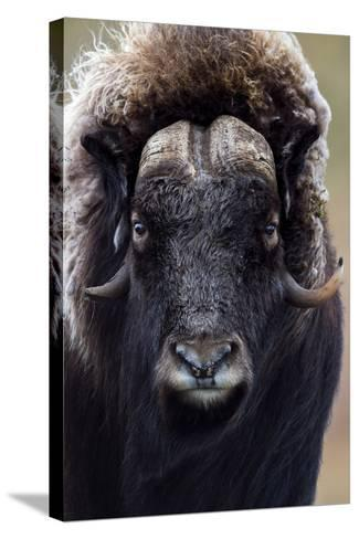 A Musk Ox with a Huge Shaggy Coat Staring at the Camera with Sharp Pointed Horns-Jason Edwards-Stretched Canvas Print