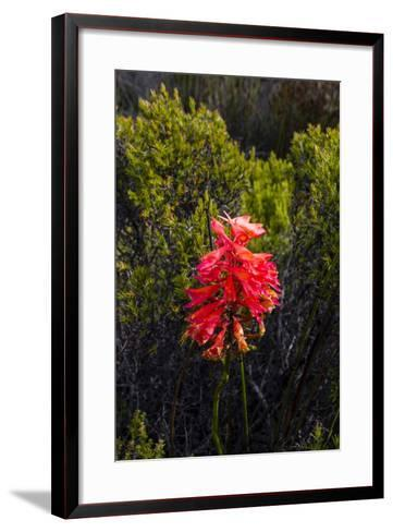 The Stunning Red Bloom of a Cluster Disa on the Summit of Table Mountain-Jason Edwards-Framed Art Print
