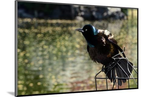 A Male Common Grackle, Quiscalus Quiscula, Displaying from a Wire Perch-Darlyne A^ Murawski-Mounted Photographic Print