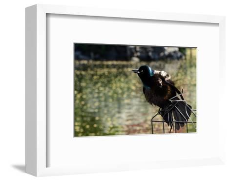 A Male Common Grackle, Quiscalus Quiscula, Displaying from a Wire Perch-Darlyne A^ Murawski-Framed Art Print