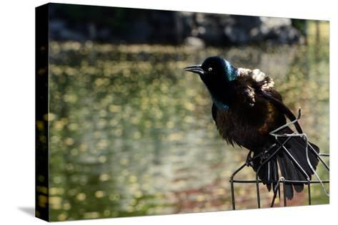A Male Common Grackle, Quiscalus Quiscula, Displaying from a Wire Perch-Darlyne A^ Murawski-Stretched Canvas Print