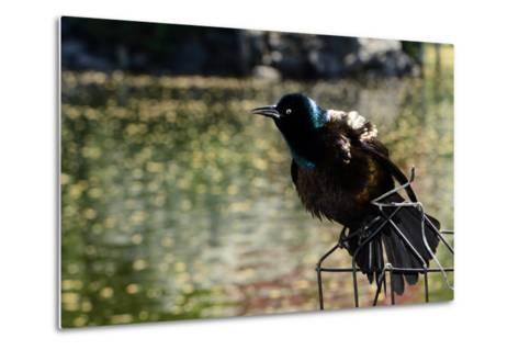 A Male Common Grackle, Quiscalus Quiscula, Displaying from a Wire Perch-Darlyne A^ Murawski-Metal Print