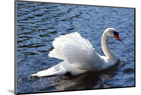 A Mute Swan, Cygnus Olor, Swims in a Pond in the Public Garden-Darlyne A^ Murawski-Mounted Photographic Print