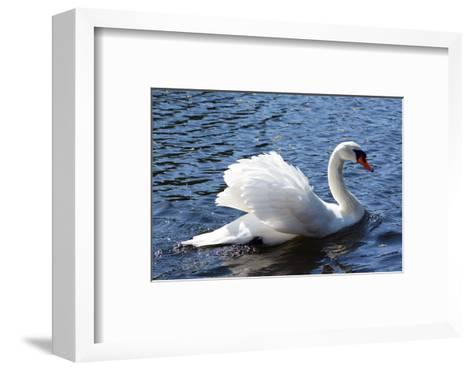 A Mute Swan, Cygnus Olor, Swims in a Pond in the Public Garden-Darlyne A^ Murawski-Framed Art Print
