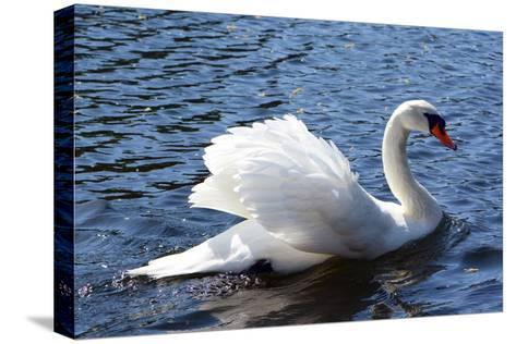 A Mute Swan, Cygnus Olor, Swims in a Pond in the Public Garden-Darlyne A^ Murawski-Stretched Canvas Print