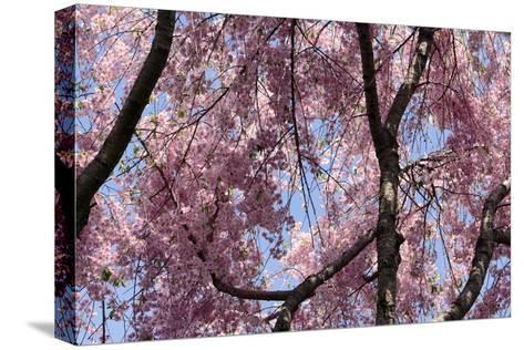 A Hybrid Cherry Tree in Spring. it Is a Cross Between Prunus Subhirtella and Prunus Yedoensis-Darlyne A^ Murawski-Stretched Canvas Print