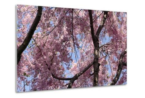 A Hybrid Cherry Tree in Spring. it Is a Cross Between Prunus Subhirtella and Prunus Yedoensis-Darlyne A^ Murawski-Metal Print