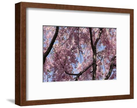 A Hybrid Cherry Tree in Spring. it Is a Cross Between Prunus Subhirtella and Prunus Yedoensis-Darlyne A^ Murawski-Framed Art Print