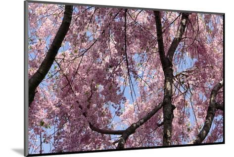 A Hybrid Cherry Tree in Spring. it Is a Cross Between Prunus Subhirtella and Prunus Yedoensis-Darlyne A^ Murawski-Mounted Photographic Print